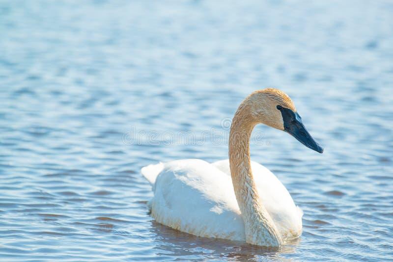Individuell simning för trumpetaresvan - som tas under de tidiga vårflyttningarna på området för Crexängdjurliv i nordliga Wisco arkivfoton