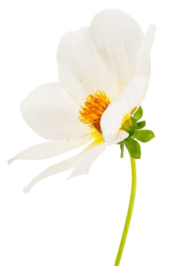 Individuos de la dalia de la flor del jardín felices imagen de archivo libre de regalías
