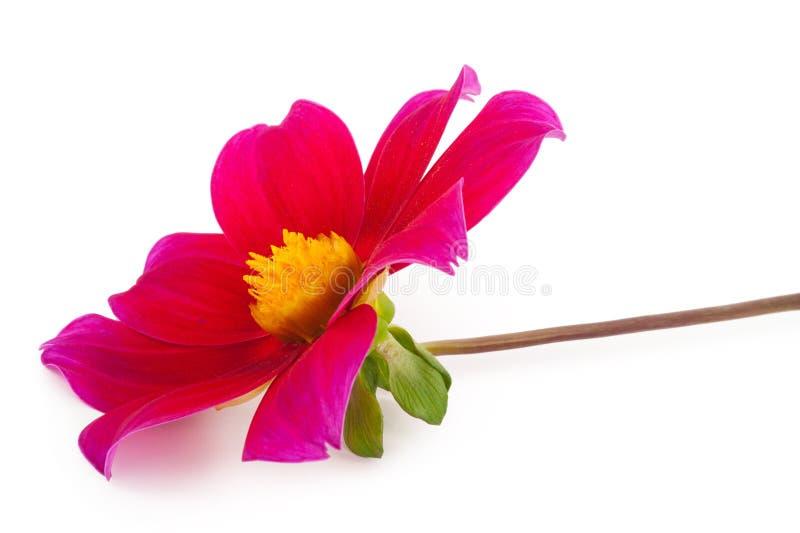 Individuos de la dalia de la flor del jardín felices fotos de archivo libres de regalías