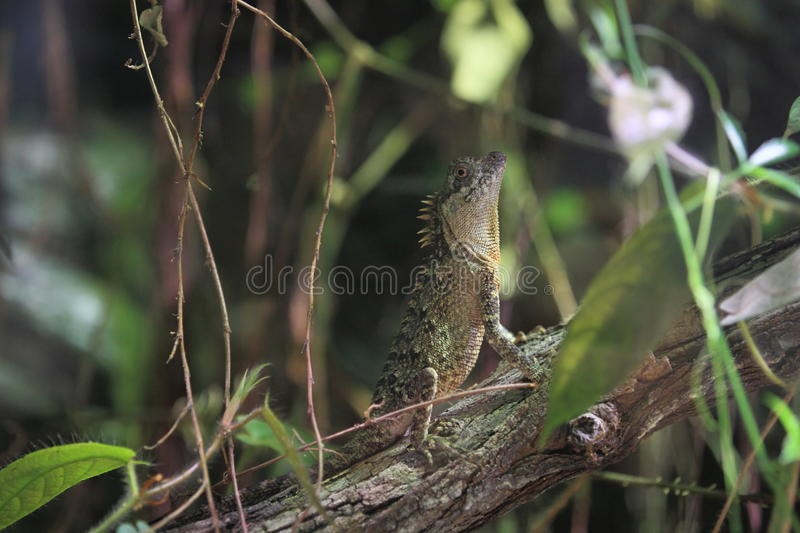 Indo-chinese spiny lizard. On the tree royalty free stock images