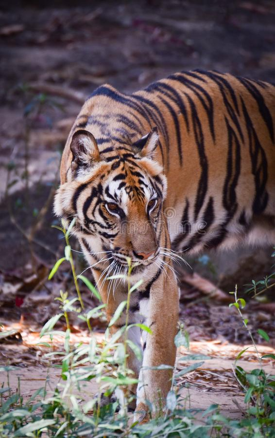Indo-chinesischer Tiger lizenzfreies stockfoto