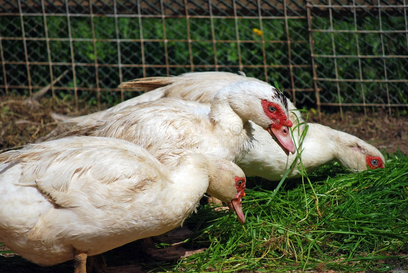 Indo-ducks on a farm walk on the street. Agriculture in the village. Chicken farming on meat. Russia royalty free stock image