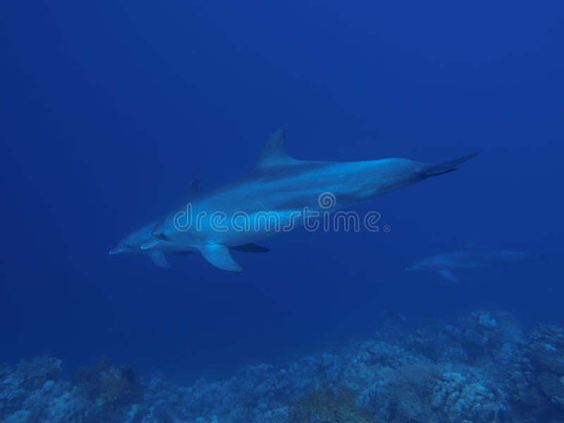 Indo-Pacific Bottlenose Dolphin. In Red sea, Egypt, Hurghada stock photo