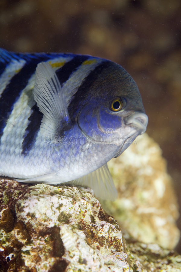 Indo-pacific sergeant (abudefduf vaigiensis). Taken in the Red Sea stock image