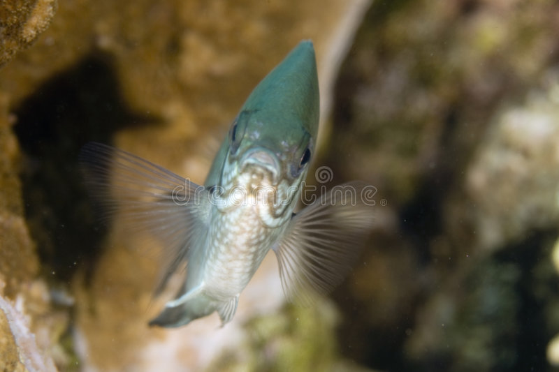 Indo-pacific sergeant (abudefduf vaigiensis). Taken in the Red Sea royalty free stock photography