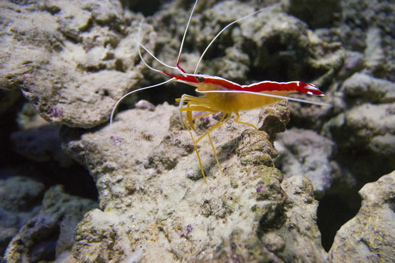 Indo-Pacific white banded cleaner shrimp Lysmata amboinensis stock photography