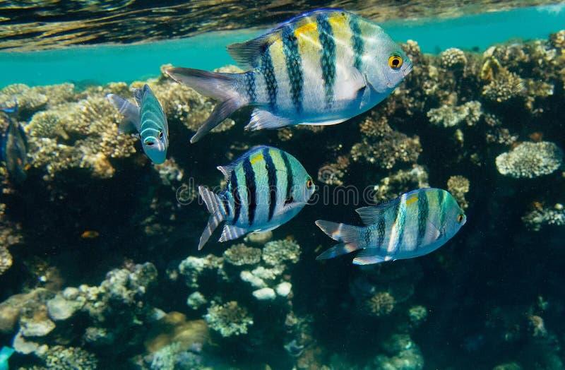 Indo-Stillahavs- sergeanter, Röda havetregion royaltyfria foton