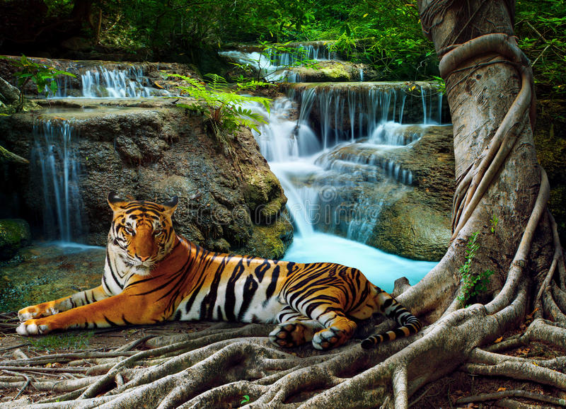 indochina tiger lying with relaxing under banyantree against beautiful pure nature limestone waterfalls use as green natural back royalty free stock image