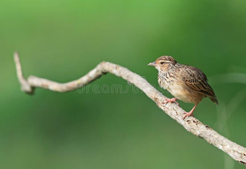 Download Indochinese Bushlark Royalty Free Stock Photography - Image: 20868817
