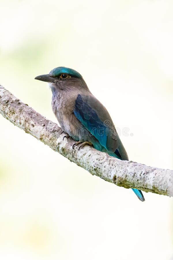 Indochinese Roller perching on a perch with blur pale green background. Thailand royalty free stock photos