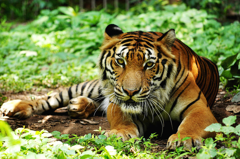 Download Indochinese Tiger Royalty Free Stock Photo - Image: 25661405