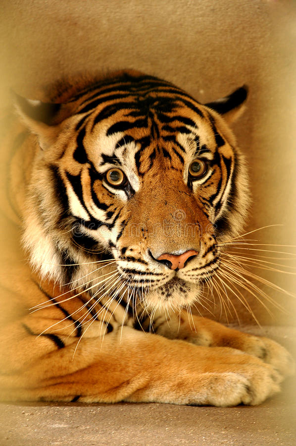 Download Indochinese Tiger Stock Image - Image: 25662051