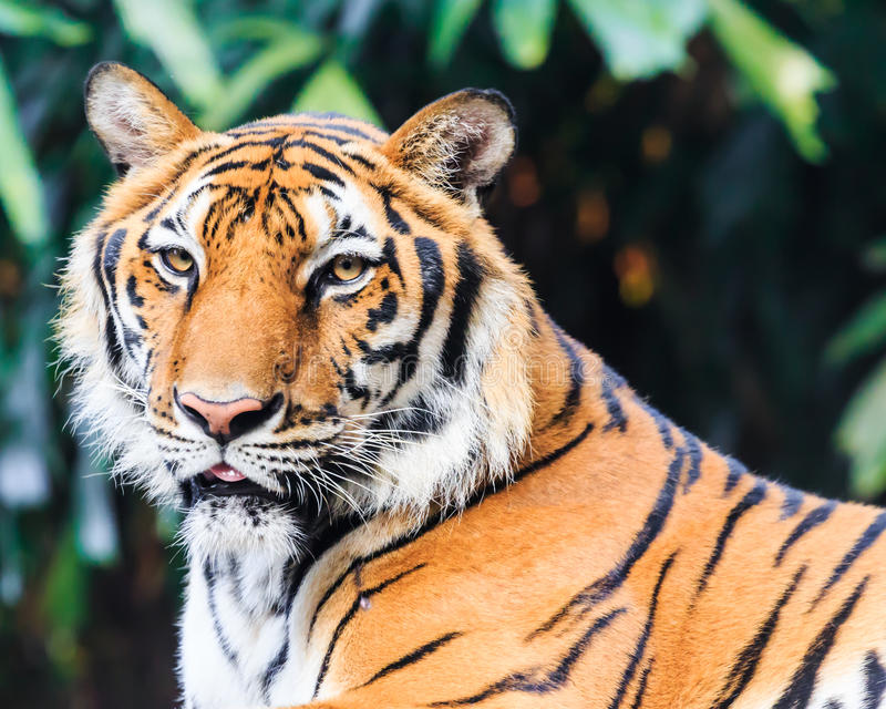 Indochinese tiger i zoo royaltyfria foton
