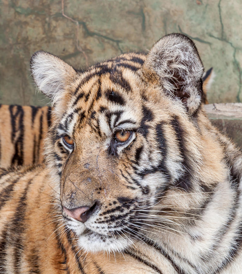 Download Indochinese Tiger stock photo. Image of thailand, cats - 38855120