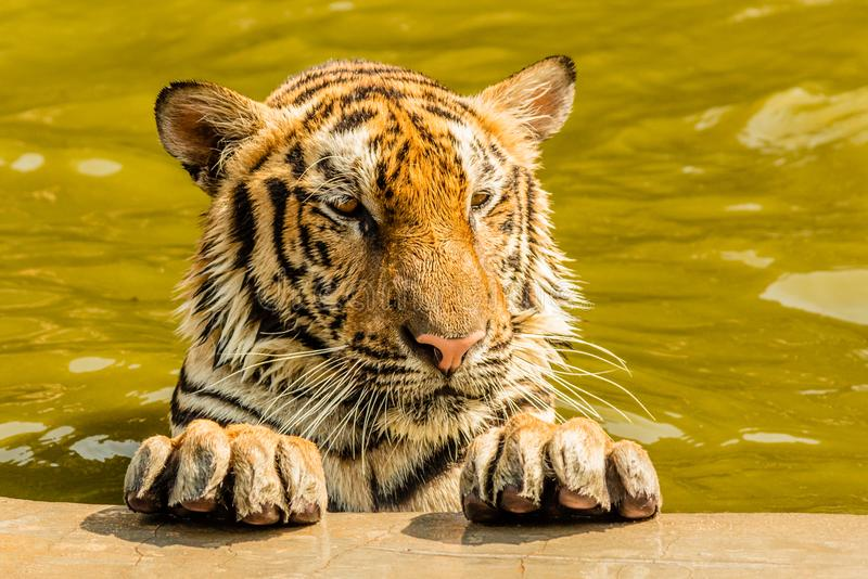 Indochinese tiger, Thailand. Indochinese tiger bathing at Tiger temple in Thailand. Portrait shot royalty free stock images