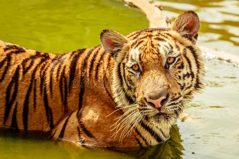 Indochinese tiger, Thailand. Indochinese tiger bathing at Tiger temple in Thailand. Portrait shot stock photography