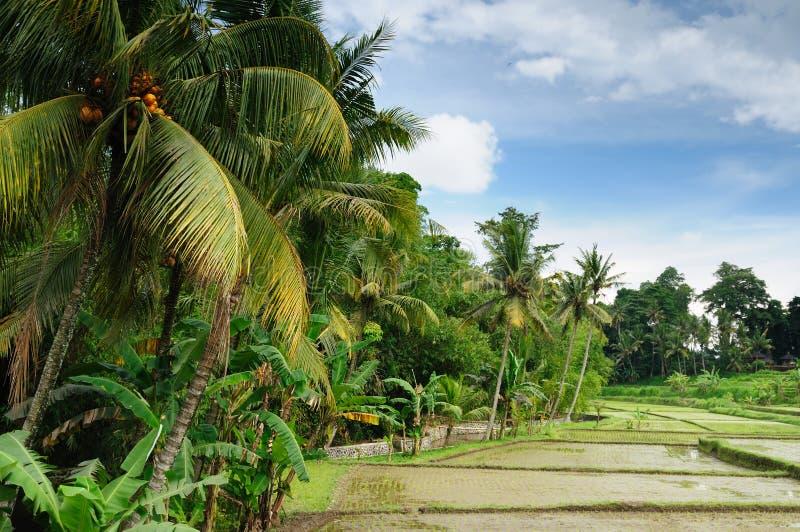Indonesië, Bali, de terrassen van de Rijst stock afbeelding
