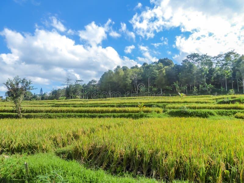 Indonesië - Padieveld stock afbeelding