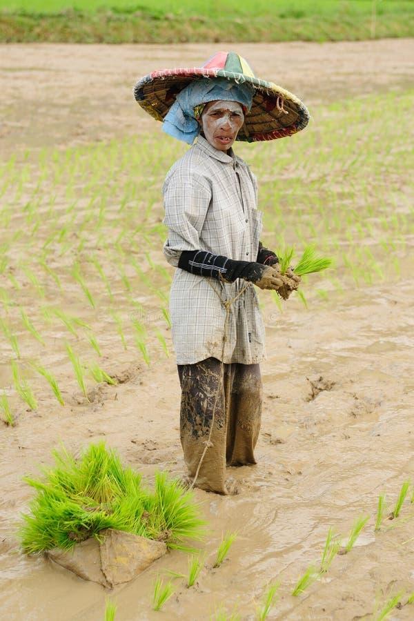 Indonesië, rijst-Arbeiders stock afbeeldingen