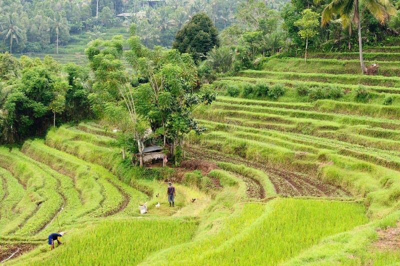 Indonesi?, Bali, de terrassen van de Rijst royalty-vrije stock foto
