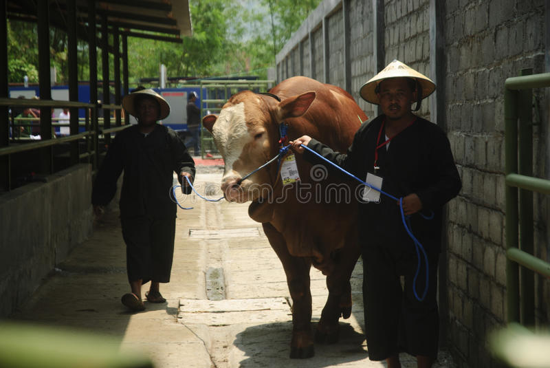 INDONESIA CATTLE IMPORT. A cattle contest held in a farm of Klaten, Java, Indonesia. The Indonesian government plans to stop the import of beef, by adding cattle royalty free stock photography