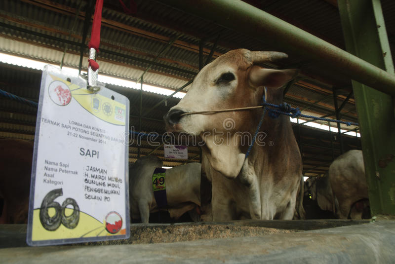 INDONESIA CATTLE IMPORT. A cattle contest held in a farm of Klaten, Java, Indonesia. The Indonesian government plans to stop the import of beef, by adding cattle royalty free stock images