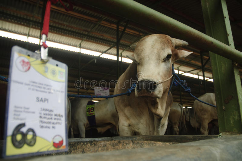 INDONESIA CATTLE IMPORT. A cattle contest held in a farm of Klaten, Java, Indonesia. The Indonesian government plans to stop the import of beef, by adding cattle stock photography