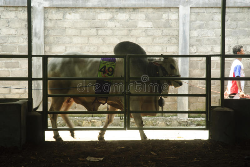 INDONESIA CATTLE IMPORT. A cattle contest held in a farm of Klaten, Java, Indonesia. The Indonesian government plans to stop the import of beef, by adding cattle stock photos