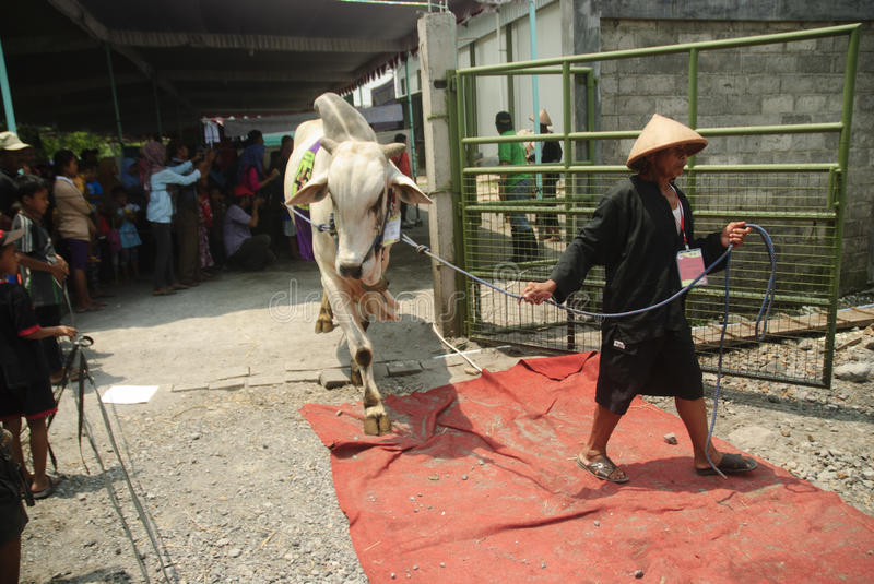 INDONESIA CATTLE IMPORT. A cattle contest held in a farm of Klaten, Java, Indonesia. The Indonesian government plans to stop the import of beef, by adding cattle royalty free stock photo