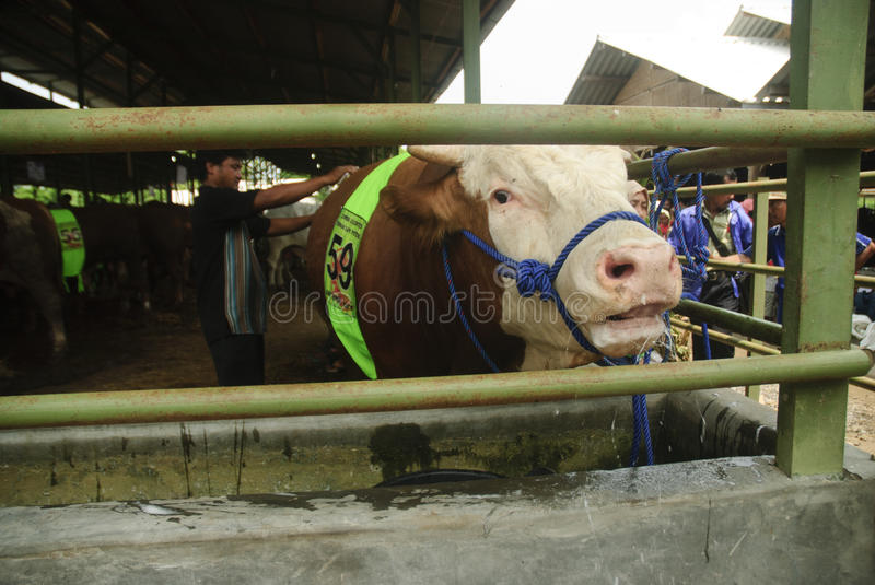 INDONESIA CATTLE IMPORT. A cattle contest held in a farm of Klaten, Java, Indonesia. The Indonesian government plans to stop the import of beef, by adding cattle stock images