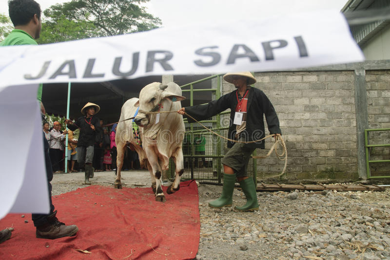 INDONESIA CATTLE IMPORT. A cattle contest held in a farm of Klaten, Java, Indonesia. The Indonesian government plans to stop the import of beef, by adding cattle royalty free stock image