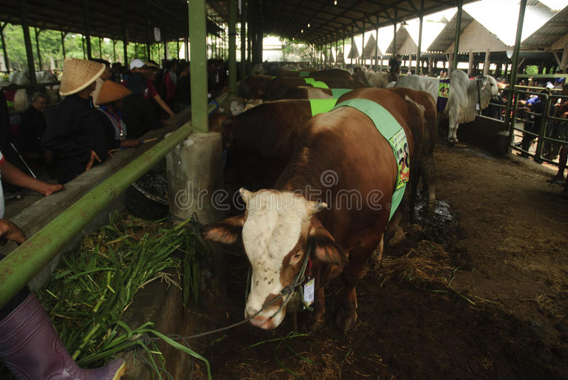 INDONESIA CATTLE IMPORT. A cattle contest held in a farm of Klaten, Java, Indonesia. The Indonesian government plans to stop the import of beef, by adding cattle stock photo