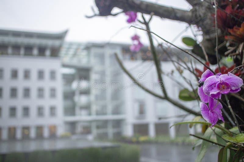 Purple Orchid Anggrek Bulan stock photo