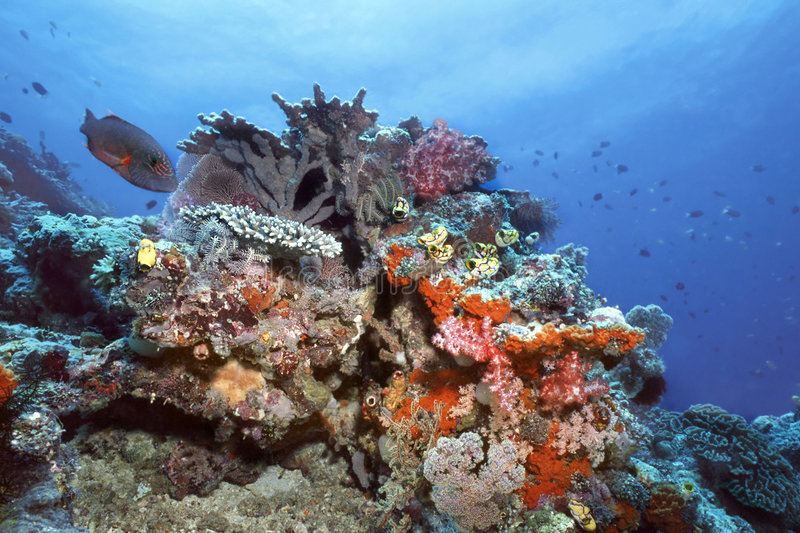 Indonesia Coral Reef. Colorful Indonesia shallow coral reef with soft corals,alcyonarians, crinoids, sea fans, Togian Islands royalty free stock photo