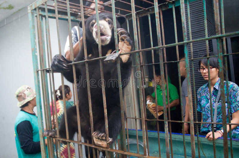INDONESIA ENVIRONMENTAL ISSUES. A domesticated bear rescued from the home of a resident in Solo, Java, Indonesia. Environmental issues in Indonesia are royalty free stock photo
