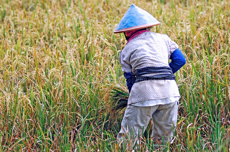 Indonesia, Java: Rice agriculture. Yellow and green rice field; a worker with his traditional asian conical hat stock photo