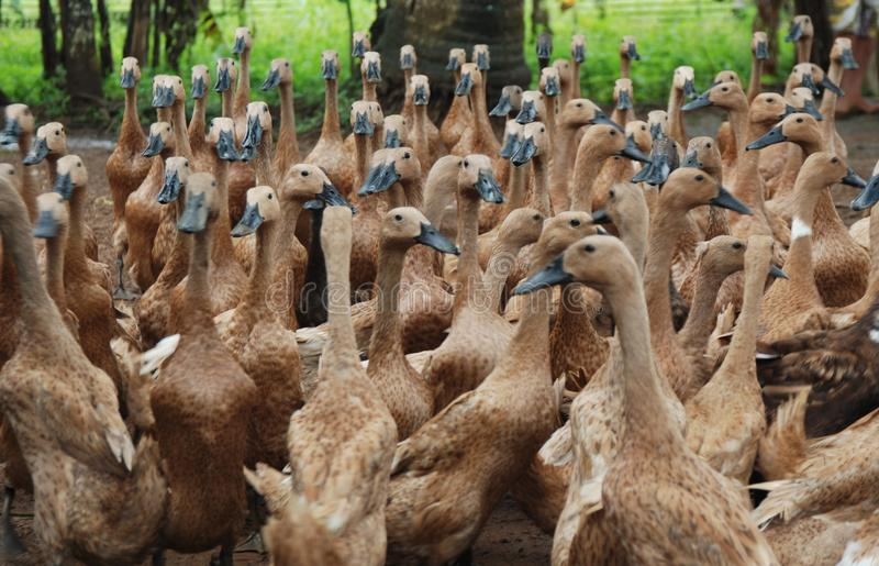 Traditional Duck Farm in Purwokerto, Central Java, Indonesia. In Indonesia, not only sheep and cattle are grazed. But the duck is also grazed. Herdsmen traveled royalty free stock photos