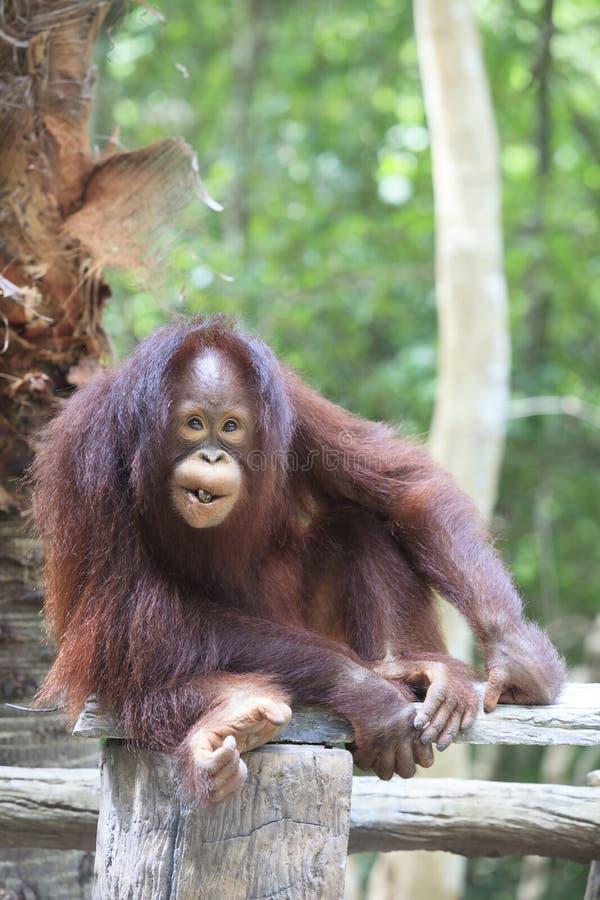 Indonesia orangutan with nature royalty free stock photos