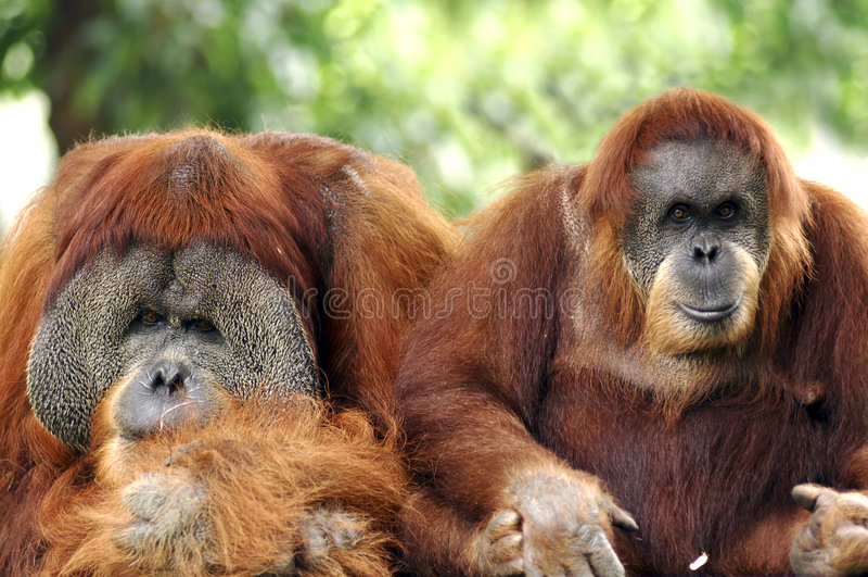 Indonesia; sumatra; orang utan royalty free stock photos