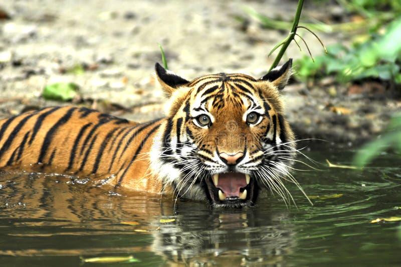 indonesia sumatra tiger arkivfoto