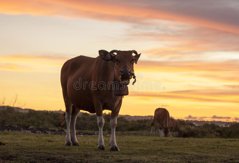 Indonesian cow during sunset. Cows in a field during sunset (Bali, Indonesia stock photography