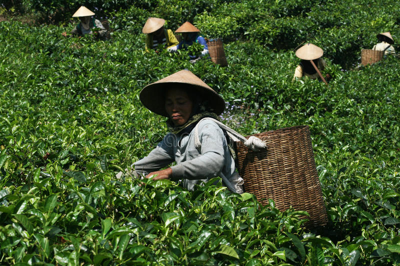 Indonesian farmer stock images
