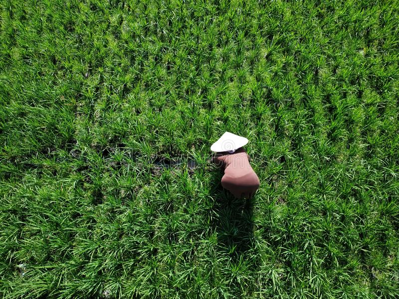 Indonesian farmer in action. Java, Indonesia stock image