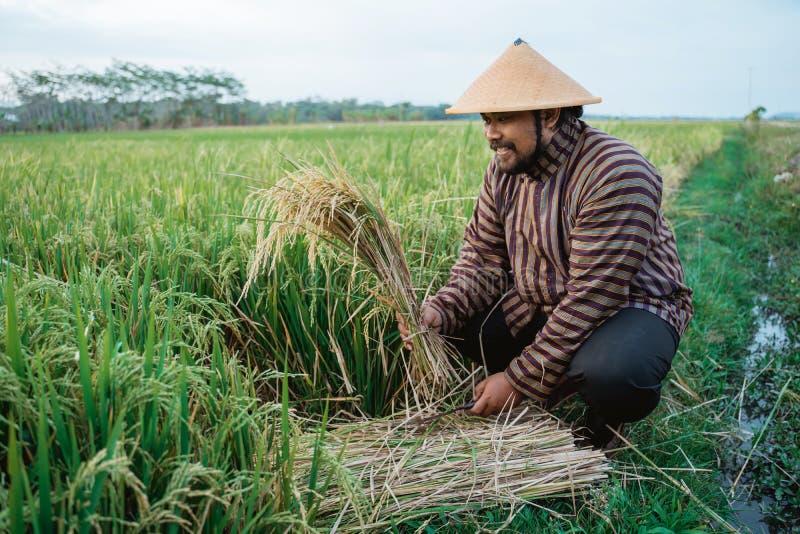 Indonesian farmer checking rice grain quality in the field. Portrait of indonesian farmer checking rice grain quality in the field royalty free stock photo
