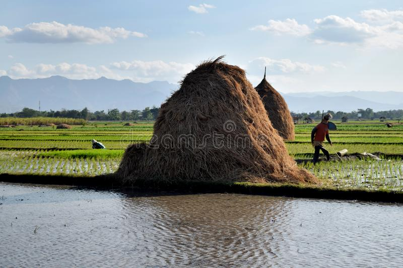 An Indonesian farmer ploughing a rice paddy rield in Golan Village. Ponorogo, East Java, Indonesia - August 30, 2015: An Indonesian farmer ploughing a rice paddy stock photo