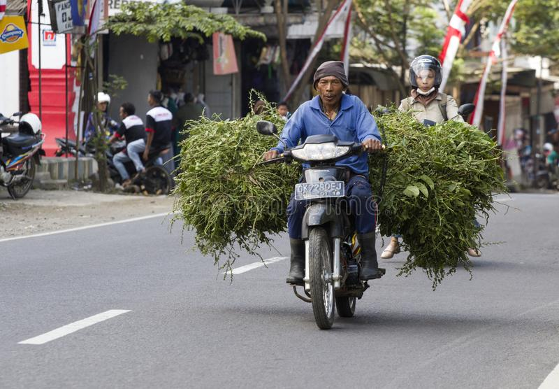 Indonesian farmer transports just harvested cane sugar. KALIBARU,JAVA ,INDONESIE -19 AUGUSTUS ,2018: Indonesian farmer transports just harvested cane sugar from royalty free stock photography