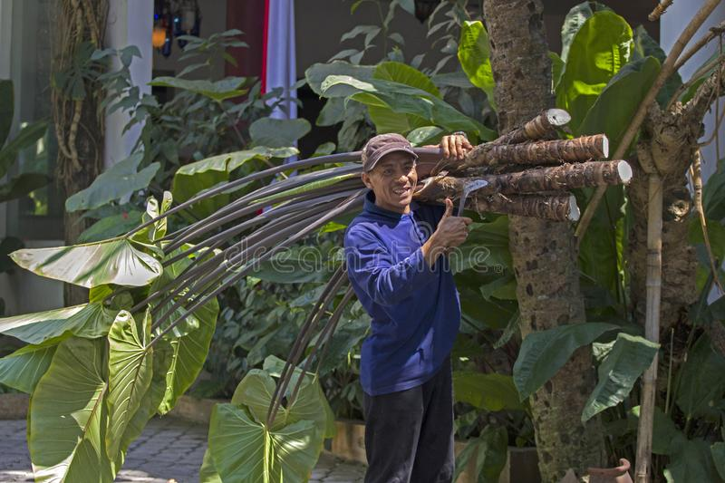 Indonesian farmer on work. MALANG,JAVA ,INDONESIE -16 AUGUSTUS ,2018: Indonesian farmer has a forest with branches with very large leaves over his shoulder royalty free stock photography