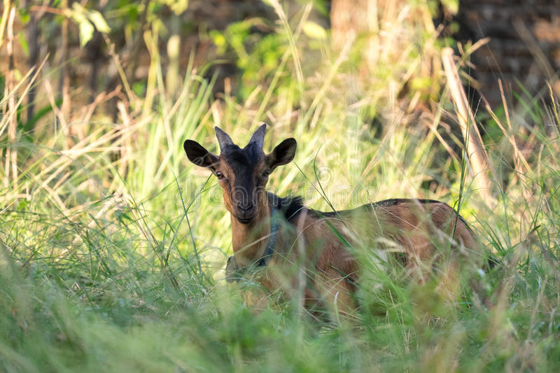 Indonesian Goat stock photo