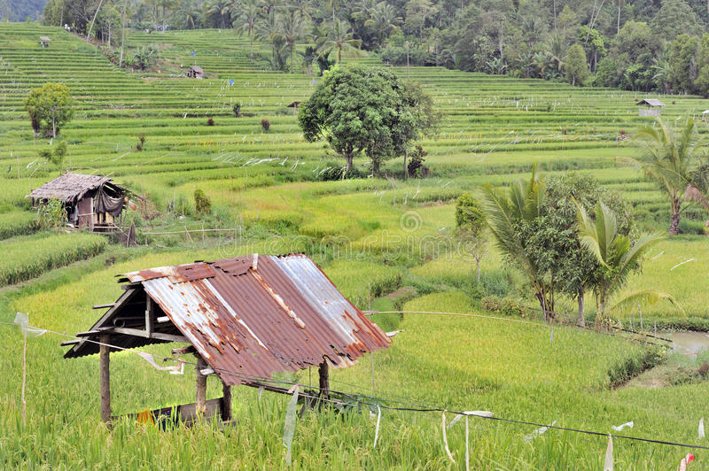 Download Indonesian ricefields stock photo. Image of ricefield - 21678400