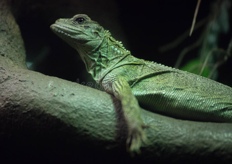 Indonesian Sailfin Lizard. At Bronx Zoo, Bronx, New York royalty free stock photography